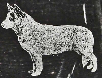 Australian Cattle Dog - Heeler